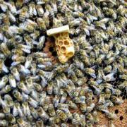 Пчёлы: вывод маток